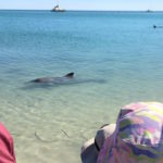 Bottlenose dolphins in Monkey Mia