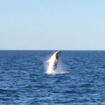 Humpback whales seen from Exmouth